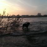 Ayka im Rhein bei einem Abendspaziergang, 16.11.2013