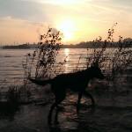 Unsere Wasserratte im Rhein bei leichtem Hochwasser, 16.11.2013