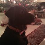 Ayka wartet auf den Weihnachts(-Hund) -Mann...